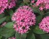 Butterfly Deep Pink - Pentas