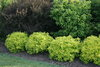 Sunjoy® Citrus - Barberry - Berberis thunbergii