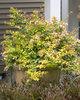 Bronze Anniversary™ - Abelia grandiflora