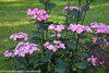 Abracadabra® Star - Hydrangea macrophylla