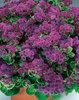 Artist® Purple - Flossflower - Ageratum hybrid