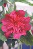 Spring Celebrities Carmine-Rose - Hollyhock - Alcea rosea annua