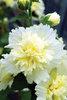 Spring Celebrities Lemon - Hollyhock - Alcea rosea annua