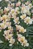 Inca Ice™ - Peruvian Lily - Alstroemeria hybrid