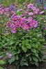 'Curtain Call Deep Rose' - Japanese Anemone - Anemone hybrid