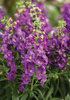 Angelface® Blue - Summer Snapdragon - Angelonia hybrid
