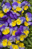 Anytime® Iris - Pansiola - Viola x wittrockiana