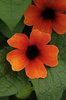 Apricot-A-Peel - Black-Eyed Susan Vine - Thunbergia alata
