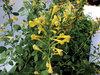 Arizona Sun - Hyssop - Agastache hybrid