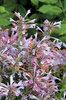 Arizona Sunset - Hyssop - Agastache hybrid