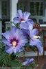 Azurri Blue Satin® - Rose of Sharon - Hibiscus syriacus