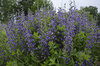 Decadence® 'Blueberry Sundae' - False Indigo - Baptisia hybrid