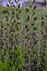 Decadence® Dark Chocolate - False Indigo - Baptisia hybrid