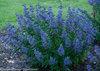 Beyond Midnight® - Bluebeard - Caryopteris x clandonensis