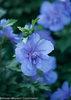 Blue Chiffon™ - Rose of Sharon - Hibiscus syriacus