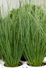 Graceful Grasses® Blue Mohawk® - Soft Rush - Juncus inflexus