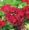 Boldly™ Burgundy - Geranium - Pelargonium interspecific