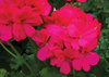 Boldly™ Hot Pink - Geranium - Pelargonium interspecific