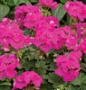 Boldly™ Lavender Rose - Geranium - Pelargonium interspecific