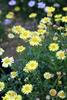 Surdaisy® Yellow - Brachyscome hybrid