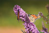 English Butterfly™ Peacock™ - Butterfly Bush - Buddleia davidii