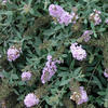 Lo & Behold® 'Lilac Chip' - Butterfly Bush - Buddleia
