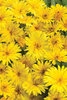 Lady Godiva™ Yellow - English Marigold - Calendula hybrid