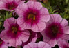Cruze™ Pink Rose Eye - Calibrachoa hybrid