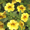 Million Bells® Tropical Delight - Calibrachoa hybrid