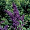 English Butterfly™ Purple Emperor™ - Butterfly Bush - Buddleia davidii