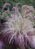 Cherry Sparkler - Fountain Grass - Pennisetum setaceum