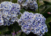 Cityline® Mars - Bigleaf hydrangea - Hydrangea macrophylla