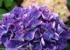 Cityline® Rio - Bigleaf hydrangea - Hydrangea macrophylla