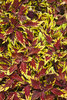 ColorBlaze® Apple Brandy™ - Coleus - Solenostemon scutellarioides