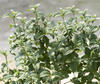 Pucker Up!® - Red Twig Dogwood - Cornus stolonifera