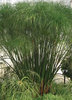 Graceful Grasses® King Tut® - Egyptian Papyrus - Cyperus papyrus