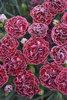Fruit Punch® 'Cherry Vanilla' - Pinks - Dianthus hybrid