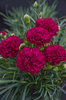 Fruit Punch® 'Cranberry Cocktail' - Pinks - Dianthus hybrid