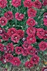 FRUIT PUNCH™ 'Pomegranate Kiss' - Pinks - Dianthus hybrid