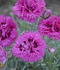 Fruit Punch® Spiked Punch - Pinks - Dianthus hybrid