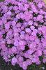 Fruit Punch® 'Sweetie Pie' - Pinks - Dianthus hybrid