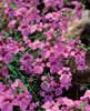Flying Colors® Trailing Antique Rose - Twinspur - Diascia hybrid