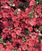 Flying Colors® Red - Twinspur - Diascia hybrid