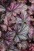 Dolce® Blackcurrant - Coral Bells - Heuchera hybrid