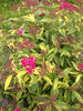 Double Play® Painted Lady™ - Spirea - Spiraea japonica