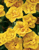 Superbells® Double Yellow - Double Calibrachoa - Calibrachoa hybrid