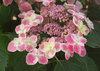 Edgy® Orbits - Hydrangea macrophylla