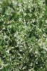 Diamond Mountain™ - Euphorbia hybrid