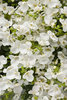 Flirtation® Glacier White - Twinspur - Diascia hybrid
