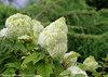 Gatsby Moon® - Oakleaf hydrangea - Hydrangea quercifolia